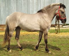 Vyatka horse is a native breed of Russia.
