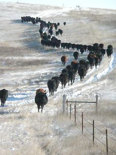 Cattle Ranch - Reminds me of Wiggins.