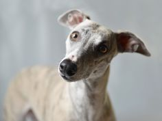 Mira the Whippet