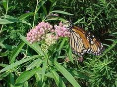 Asclepias incarnata (Swamp milkweed) - Missouri native plant important for monarch butterflies - prefers full sun & moist soil - website offers growing info for home gardeners