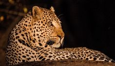 Search, book and pay for sub-Saharan African experiences in one place: Luxury accommodation, day tours, city & safaris programs and much Day Tours, Big Cats, Happy Friday, South Africa, Safari, African, Travel, Animals, Instagram
