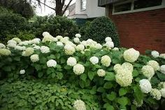 Image result for hydrangea annabelle Hydrangea Arborescens Annabelle, Annabelle Hydrangea, Dream English, Grey Fences, Foundation Planting, Bloom, Google Search, Garden, Plants