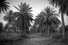 Palm trees, Iraq