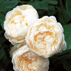 ~Rose 'Glamis Castle'