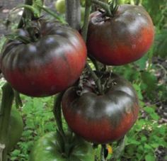 Grow Organic Tomatoes Black from Tula Tomato Seeds - A delicious Russian tomato that is a great slicer. Growing Tomatoes From Seed, Growing Tomato Plants, Varieties Of Tomatoes, Growing Tomatoes In Containers, Growing Seeds, Grow Tomatoes, Garden Tomatoes, Culture Tomate, Beefsteak Tomato