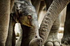 A newborn elephant calf is touched by his mother at the Copenhagen Zoo. Animal views - The Washington Post