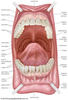 Dental World, Dental Life, Dental Health, Dental Assistant Study, Dental Hygiene Student, Human Body Anatomy, Human Anatomy And Physiology, Human Anatomy Picture, Dental Anatomy