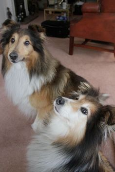 My two Shelties, the boys