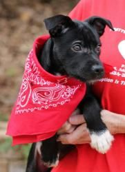 Lennox 17438 is an adoptable Black Labrador Retriever Dog in Prattville, AL.  Lennox is a 4-month-old male Black Lab/Terrier mix.He is jet black and has white markings on his leftpaw and under his...