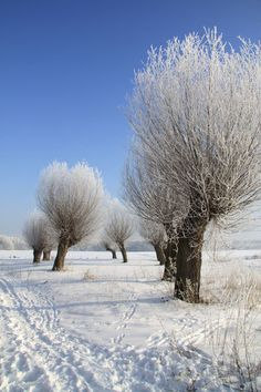 Willow trees in winter dress, Saxony-Anhalt, Germany