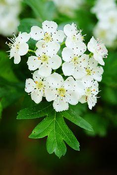 Biancospino - fiori ed essicazione per infuso