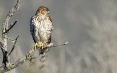 File:Juvenile Cooper's hawk (Accipiter cooperii) in tree. Cooper's Hawk, Bald Eagle, Feel Good, Kai, Birds, Animals, Masters, Animales, Feeling Great Quotes