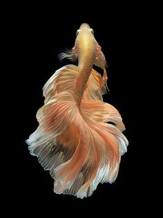 siamese fighting fish, betta fish on black background: