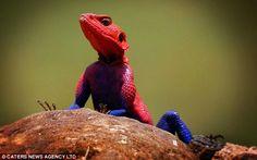 Mwanza Agama Flat Headed Lizard.  Serengeti Plain, Southern Africa.  Does he look like Spiderman, or what?