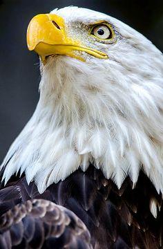 Funny Wildlife, Bald Eagle. by Nuao on Flickr. #Bird#Photo