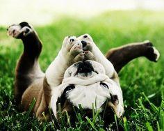 rolll, rolll. Great position, little bulldog!