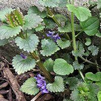 Popenec břečťanovitý - Glechoma hederacea | ReceptyOnLine.cz - kuchařka, recepty a inspirace