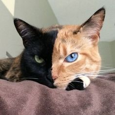 Meet Venus, The Two-Faced Cat! (VIDEO AND PICTURES)