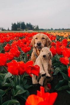 This golden nug who brings his teddy with him everywhere he goes... even on flower romps!!!!!! #goldenretriever