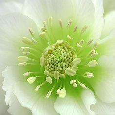 Helleborus orientalis 'Double Ellen' by Paul Heijmink, 500px #Photography #Flower #Helleborus_orientalis