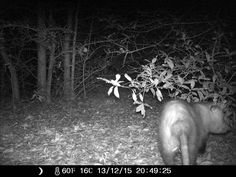 12/13/2015: interesting how this opossum's face kind of looks like a pig. #wildlifecam