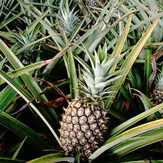 On the Big Island of Hawaii, smack your lips over the world's best pineapple
