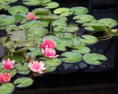Waterlillies by Eric Schiabor   available at fine art america