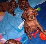 Irish Setters - PUPPIES | Irish Setters Australia