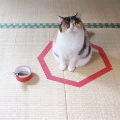 猫ホイホイに捕まる猫