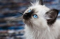 Burmese cat 19 pictures (13)