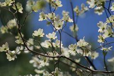dogwood blooms against blue East Texas sky
