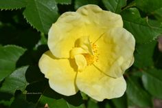 Yellow rose of New Jersey