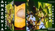 Amazônia - Fruto do Mato - Cedro Taperebá - Antrocaryon amazonicum - Cel...
