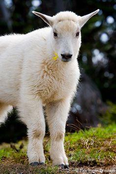 Young Mountain Goat,~ Olympic National Park, Washington by Floris Van Breugel