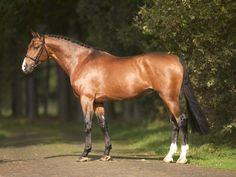 stallion Caresino