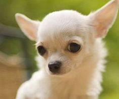Search chihuahua puppy images