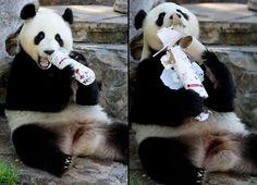 Giant panda Funi opens her Christmas gift at Adelaide Zoo, Australia Dec 2012