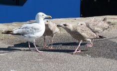 https://flic.kr/p/MXNuCo | Large Herring Gull Chicks Begging For Food In Grenaa Harbor