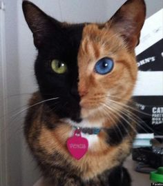 Venus is what is known as a chimera cat; her face is divided perfectly in between black and calico. Not only that, but she also has heterochromia. This means that her eyes are different colors (blue and green).