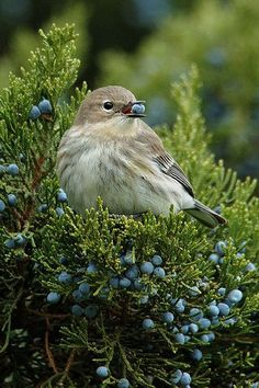 Ideas Nature Animals Birds Berries For 2019 Pretty Birds, Love Birds, Beautiful Birds, Animals Beautiful, Small Birds, Little Birds, Colorful Birds, Nature Animals, Animals And Pets