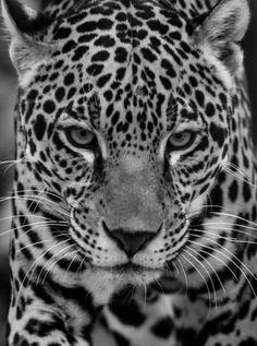 que mirada este Jaguar