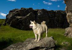 The Icelandic dog