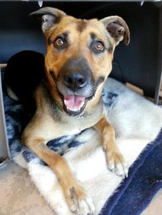 Meet Miki, an adoptable German Shepherd Dog looking for a forever home. If you're looking for a new pet to adopt or want information on how to get involved with adoptable pets, Petfinder.com is a great resource.