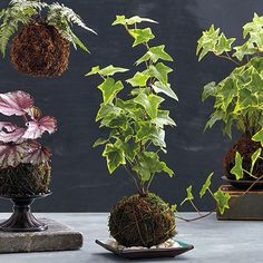"Make your own kokedama | Try this hot new trend in indoor gardening!  round moss-covered ball, ""moss ball,"" Japanese garden art"