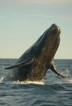 Right Whale: Georgia State Mammal