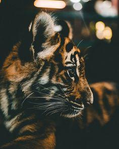 tiger walking towards on green leaf plant during daytime photo – Free Tiger Image on Unsplash Tiger Photography, Wild Animals Photography, Wildlife Photography, Amazing Photography, Photography Tips, Tiger Images, Tiger Pictures, Kitten Images, Tier Wallpaper