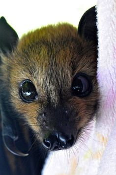 Baby rescue bat - OMG look at that sweet face