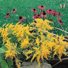 Golden Baby goldenrod 2' tall perinnal, attracts butterflies, blooms first year when started early, 50 seeds for $1.99.
