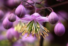 Thalictrum delavii Hewitts Double 2 by jgsnow, via Flickr