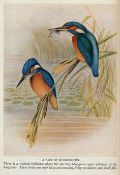 birds,trees &flowers j 50 ill kingfishers | Flickr - Photo Sharing!